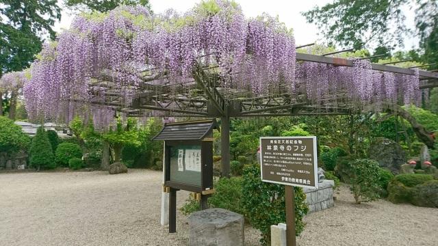 林泉寺藤の花